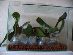Így gyógyíthatod meg a beteg lepkeorchideát   Balkonada Orchids, Glass Vase, Gardening, Plants, Diy, Decor, Decoration, Bricolage, Lawn And Garden