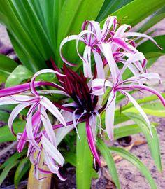 'Strictum' Crinum Lily.
