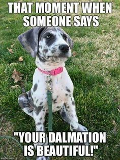 Isley doesn't look anything like a dalmatian, and I still get this all the time...