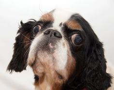 Meet Doia, an adoptable English Toy Spaniel looking for a forever home. If you're looking for a new pet to adopt or want information on how to get involved with adoptable pets, Petfinder.com is a great resource.