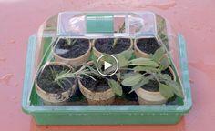 Kräuter durch Stecklinge vermehren -  Kräuter durch Stecklinge zu vermehren ist sehr einfach und spart Geld! Wie Sie genau dabei vorgehen sollten, verraten wir in diesem Video.