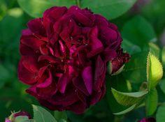 Rosa Tuscany Superb (1837),