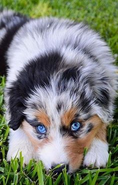 Australian Shepherds were gone into the American Kennel Club stud book in and they were completely perceived as individuals from the Herding Group in& The post Australian Shepherd appeared first on Coulson Puppies. Australian Shepherd Puppies, Aussie Puppies, Cute Dogs And Puppies, Doggies, Australian Shepherd Blue Eyes, Mini Australian Shepherds, Shitzu Puppies, Aussie Shepherd, Boxer Puppies
