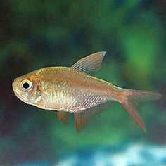 Red Blue Tetra: Scientific: Hyphessobrycon sp. Care: Easy; Size: 2 in.; Native: South America; Temperament: Peaceful; Diet: Omnivore; Has silver background with red fins & light blue color along dorsal ridge. This fish is new to the aquarium trade & likes to school in upper regions of aquarium. While the Tetra might prefer softer, acidic water conditions, most can adapt to a wide range of water parameters. Most are now raised in Florida & SE Asia under conditions different than natural…
