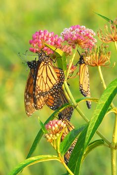 -Swamp milkweed. Also a host plant, great hardy Midwestern perennial. Less fussy than butterfly weed. (orange milkweed)