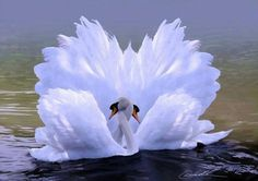 what a beautiful sight to behold...swans are a precious symbol of love...
