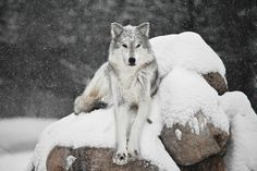 Alfa Wolf ~ by Colleen  Dubois