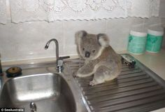 The baby koala lost his mother in a car crash three years ago but has now made full recovery and will be released into the wild