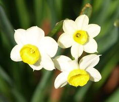 There are over a hundred varieties of daffodil