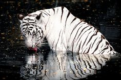 White Tiger Drinking (by tfjunction)