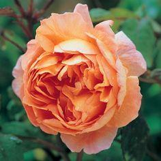 Lady Emma Hamilton - David Austin Roses- Repeat Blooms Jun-Sep; Hardy to Zone 5