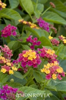 Lantana (Teenie Genie): An extremely dense and compact shrub with a continuous display of festive multi-colored flowers which open chiffon yellow and transition to fuchsia pink. Symmetrical form requires no pruning. Flowers year-round in warmer climates, making it a superb choice for containers, mass plantings and edging. Evergreen.