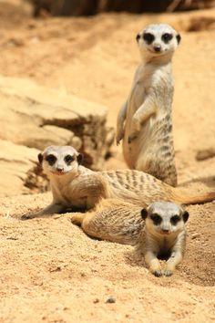 Meerkats+by+sacadura.deviantart.com+on+@deviantART