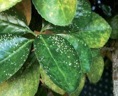 Cómo eliminar la cochinilla de las plantas