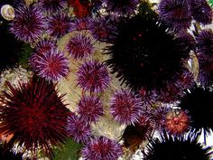 Sea Urchins (both 'purps' and 'frans'