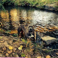 Wading into the stream at Auburn District Regional Park - Auburn, CA - Angus Off-Leash #dogs #puppies #cutedogs #dogparks #bigdogs #pitbull #angusoffleash #california #auburn