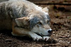 Pin by Debby Lucien on Quotes - Wolf photos, Animals, Grey..