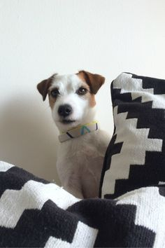 Cutest JRT puppy peeking behind the pillows. Black and white textiles. Dog photography.