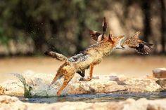 """A luta de todos contra todos: imagem feita no Parque Nacional Kgalagadi, na África do Sul, mostra um chacal solitário no momento em que tenta abocanhar um pássaro para fazer um """"lanche rápido"""" – o salto foi bem sucedido e o animal conseguiu abater o aperitivo. (Foto: Solnet/The Grosby Group)"""
