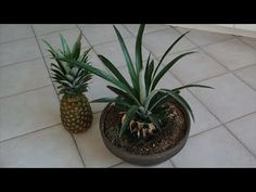 How to Grow a Pineapple from its Top! Works every Time! - YouTube