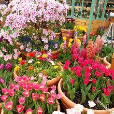 Exhibition of tulipsチューリップの展示 #korea #korean #한국 #서울 #корея #seoul #blossoms #nature #cute #kawaii #yellowflowers #flowers  #tulips #ip_blossoms #iloveflowers #orange #yellow #bush #plants #rainbow #garden #exhibition #flower