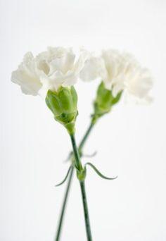 """Oeillet Dans le langage des fleurs, l'oeillet symbolise l'effronterie et signifie """"attention, je risque de moins t'aimer""""  Œillet blanc : Mon amitié est forte et sincère, tu m'inspires des sentiments purs. Œillet jaune : Dédain. Œillet rouge : Tu m'inspires des sentiments charnels. Œillet rose : Je t'aime avec ardeur. Œillet violet : Tu ne m'inspires que de l'antipathie. Œillet panaché : Je vais réfléchir. Œillet strié : Refus. Œillet de poète : Ardeur et grâce. Œillet d'Inde : Séparation."""