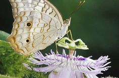 Butterfly Host Plants