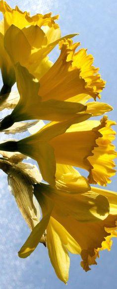 Daffodils....memories of Michigan!