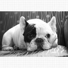 'Manny' the French Bulldog, via Instagram.