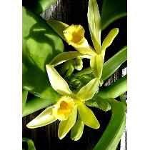 Mudas De Orquidea Baunilha (trepadeira) Orchids, Flowers, Plants, Alice, Nursery Trees, Tulips, Vanilla, Plant, Royal Icing Flowers