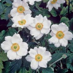 Honorine Jobert Anemone, Japanese windflower with big white blooms for part shade.