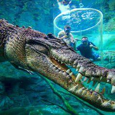 Would you go in the #CageOfDeath at Crocosaurus Cove in Darwin Australia  @crocosauruscove #yolo #globalnomad #bucketlist #adventurevisuals #killeverygram #wanderlustwednesday  #beautifulhotels#welltraveled#tlpics#worlderlust#wowarmy#luxuryworldtraveler#traveldeeper#passionpassport  #places_wow #takemethere #finditliveit #dailyescape #darwin #crocosauruscove #crocodilecagedive #crocodilecagediving #crocodilecageofdeath #darwinaustralia #exploreaustralia #wow_australia #discoveraustralia…