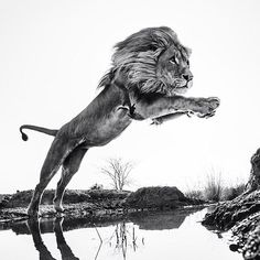 Black and white leaping lion