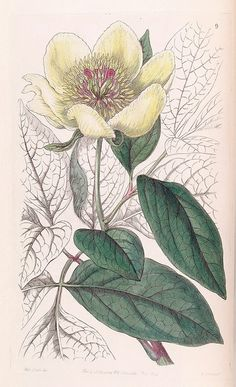 """Paeonia daurica. The botanist submiited this name as """"Daurica"""" which means """"of Dahuria,"""" a region of Siberia. Taurica is """"of Crimea,"""" the the location these peonies are most often found. Edwards's Botanical Register, vol. 32 (1846) [S.A. Drake] 