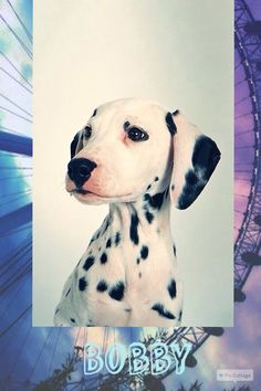 Name: Bobby Breed: Dalmatian Gender: Male Age: 1 Bobby is a sweet and loving dalmatian. He also really likes to sleep.