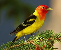 Western Tanager - Would see these in Calgary - so pretty!