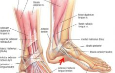 Muscular And Skeletal Anatomy Of Ankle