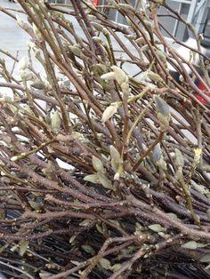Grote bossen magnoliatakken zijn er weer