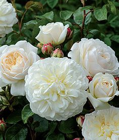 Rose, Tranquility  Short Description    Pure white, beautifully rounded, blooms with light apple fragrance.