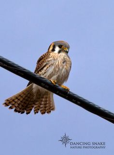 """""""Kestrel on a wire"""" - American Kestrel - I like the way the tail feathers are fanned out for this pic. I am normally not a fan of birds photographed on electric cables, but for him, I will make an exception. ©R.C. Clark: Dancing Snake Nature Photography All rights reserved Madera Canyon area #arizona, #nature, #photography, #dancingsnakenaturephotography, #birds, #raptors, #falcons, #kestrel"""
