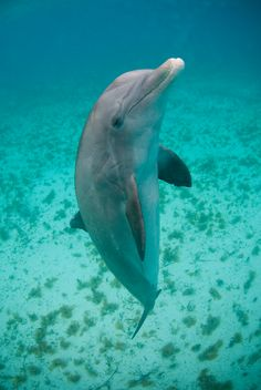 Help us protect dolphins from captivity in Turks and Caicos. Sign the petition to stop Dolphin Cove: http://www.thepetitionsite.com/949/718/490/say-no-to-captive-dolphins-in-the-turks-and-caicos-keep-dolphins-in-the-blue/