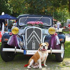 WEBSTA @ insomnia_maja - Connex jest gotowy na slub 😂 tylko panny mlodej brak 😁 #connex_star #bullyofinstagram #bulldogsofinstagram #continentalbulldog #wedding #oldtimer #lüdenscheid #hochzeitsfotografie
