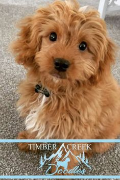 We specialize in Red Mini Goldendoodles and Teacup Goldendoodles - healthy, happy beautiful puppies raised by our family. Bernedoodle Puppy, Goldendoodle Puppy For Sale, Goldendoodles, Funny Animal Quotes, Funny Animals, Puppies For Sale, Cute Puppies, Dog Lover Gifts, Dog Lovers