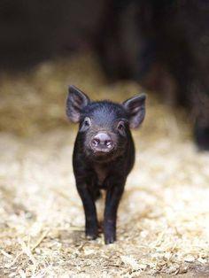sweet little piggy
