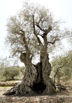 A nővérek olajfák Noé, 6000 éves.  A legidősebb élő olajfák földön .: