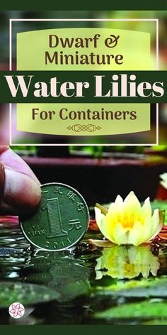 Why Use Small, Or Even Tiny Water Lilies? You might not have enough garden space, or maybe installing a pond is more of a project than you want to tackle. Perhaps you have a small water feature and thought you would like to add some sort of aquatic flowering plants to it... Water Garden Plants, Container Water Gardens, Container Plants, Flowering Plants, Planting Flowers, Small Water Features, Garden Spaces, Water Lilies, Dream Garden
