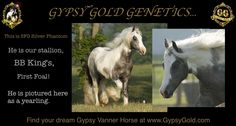 A beautiful example of Gypsy Gold Genetics....to learn more about our breeding program, please visit ggvanner.com.