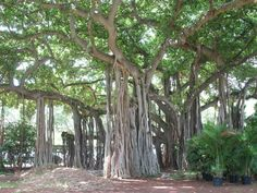 Beautiful Banyan trees at the Honolulu Zoo, Waikiki