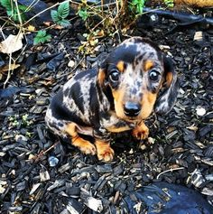 dapple dachshund... I ding really like small dogs but this lil guy is adorable!