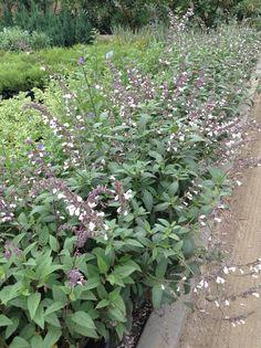 'Waverly' Sage (Salvia leucantha hybrid 'Waverly')